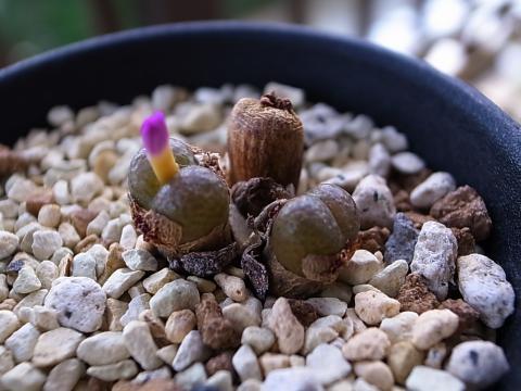 20110926_Conophytum lithopsoides_1