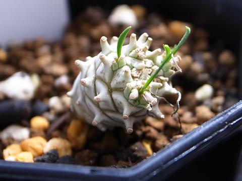 20111001_Euphorbia gilbertiana