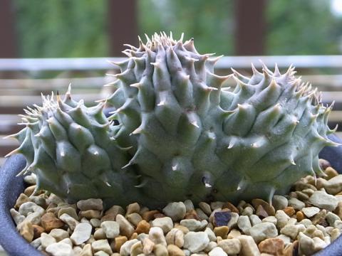 20111013_Orbea maculosa_1