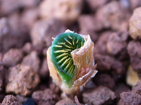 20111023_Brunsvigia namaquana