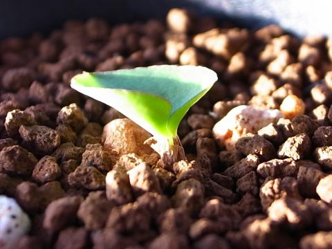 20111027_Eriospermum zeyheri_4