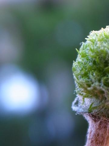 20111030_Eriospermum paradoxum