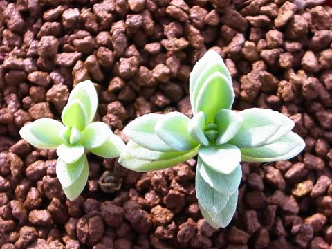 20111101_Coleus azureus_2