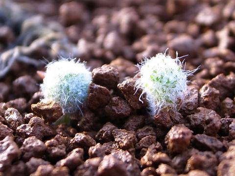 20111025_Eriospermum paradoxum