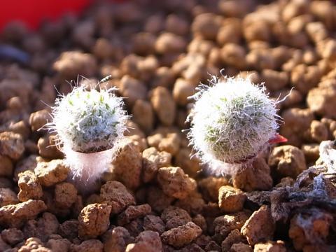 20111027_Eriospermum paradoxum
