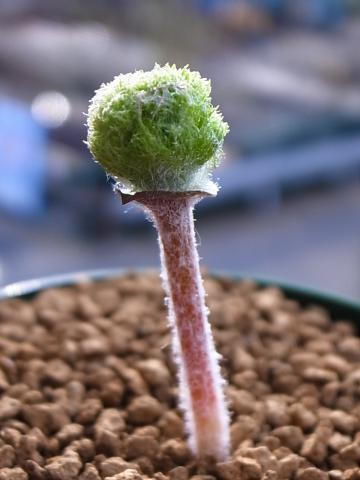 20111101_Eriospermum paradoxum