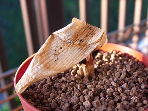 20111113_Strumaria unguiculata_1