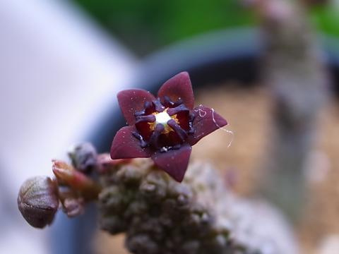 20111117_Pseudolithos dodosonianus_2