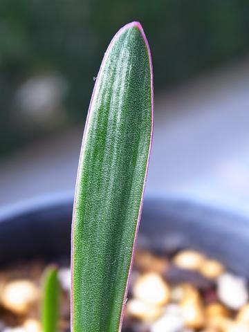 20111125_Haemanthus lanceifolius