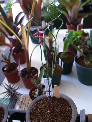 20111126_Gethyllis verticillata (Kosies,Namaqualand)