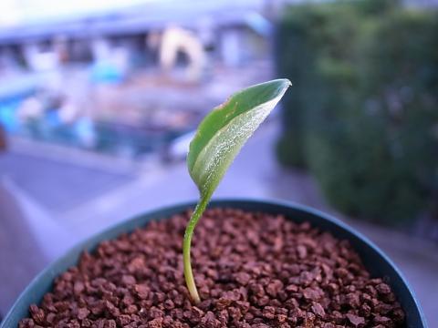 20111202_Eriospermum sp._2