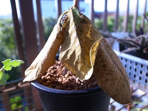 20111210_Euphorbia neohumbertii_1