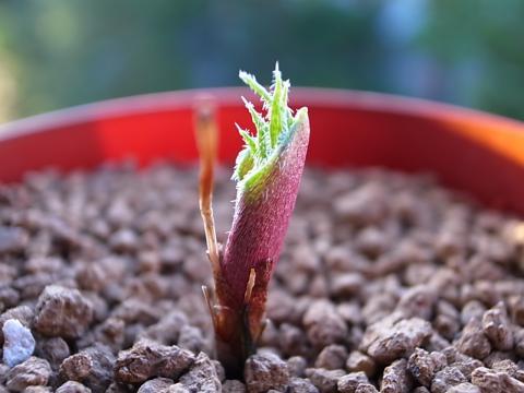 20111217_Eriospermum folioliferum_2