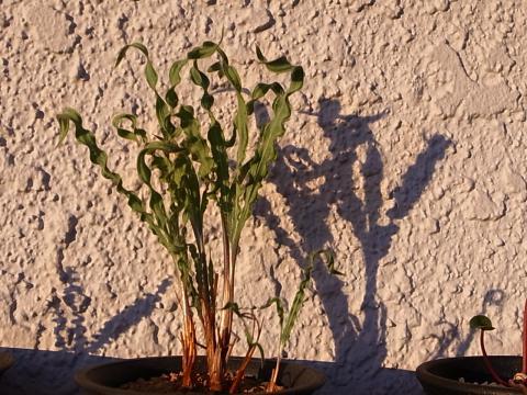20111221_Babiana crispa