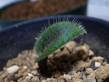 20111225_Lachenalia trichophylla
