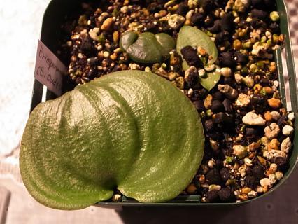 20111225_Eriospermum zeyheri