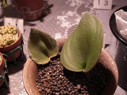 20111225_Eriospermum lanuginosum