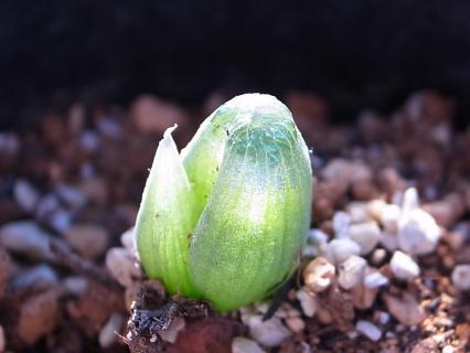 20111228_Bulbine mesembryanthoides