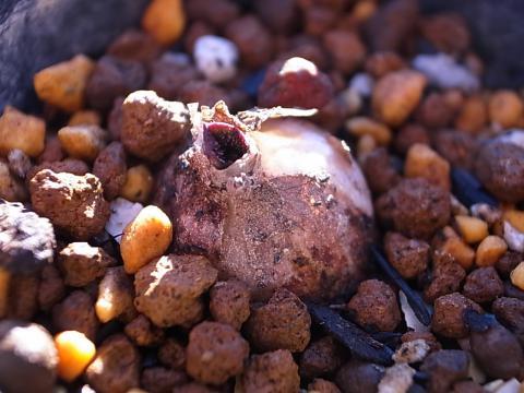 20111230_Massonia pygmaea