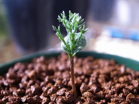 20120109_Eriospermum aff. paradoxum