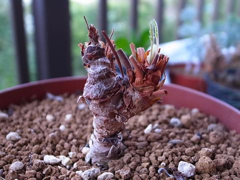 20120121_Pelargonium bowkeri_2