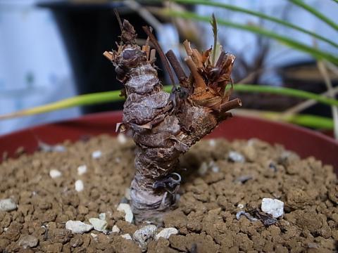 20120121_Pelargonium bowkeri_1