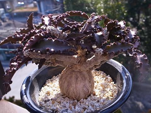 20120128_Euphorbia suzannae-marnierae_1