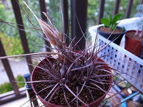 20120205_pitcairnia macrochlamys
