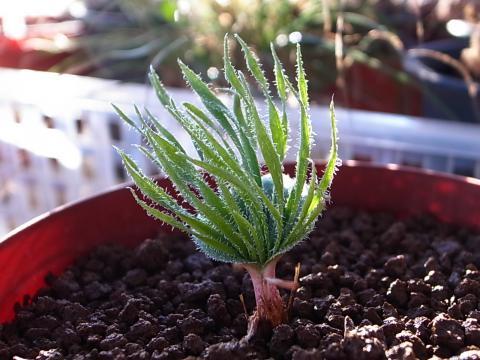 20120210_Eriospermum folioliferum_6