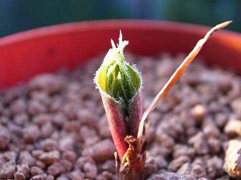 20120210_Eriospermum folioliferum_4