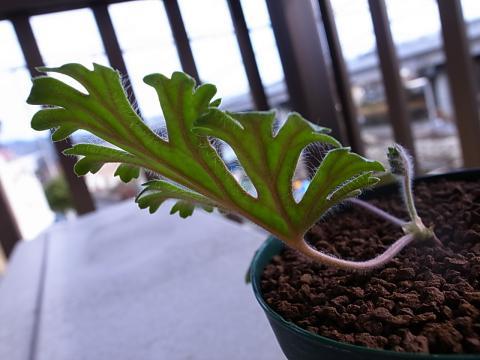 20120211_Pelargonium pulverulentum_2
