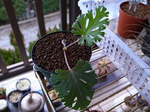20120211_Pelargonium pulverulentum_1