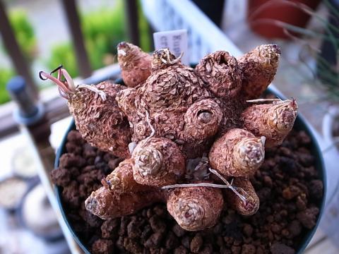 20120323_Euphorbia crispa