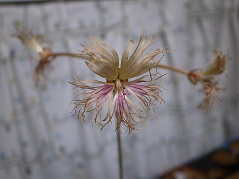 20120412_Pelargonium bowkeri_2