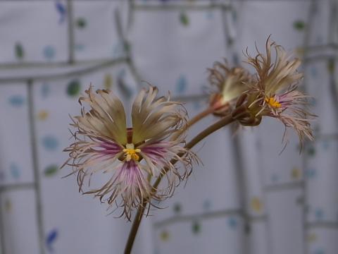 20120412_Pelargonium bowkeri_1