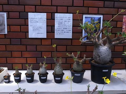20120429_Pachypodium rosulatum var. gracilius
