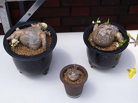 20120429_Euphorbia globulicaulis primulifolia
