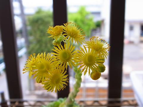 20120430_Aeonium dodrantale bas. Greenovia dodrantalis