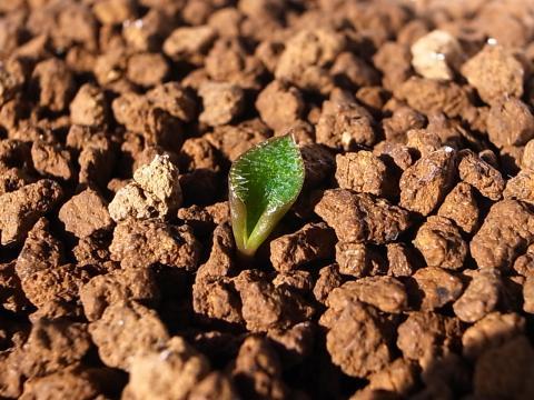 20120527_Eriospermum ornithogaloides_2