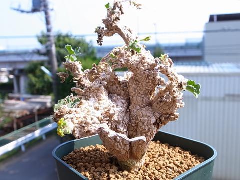 20120812_Corallocarpus glomeruliflorus_1
