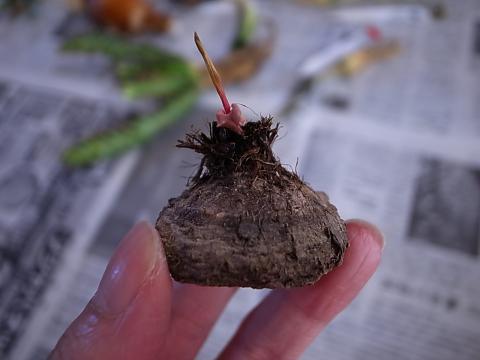 20120902_Eriospermum mackenii