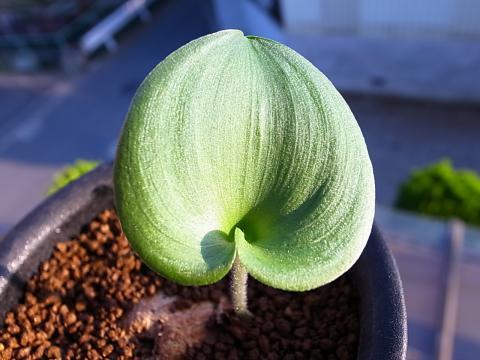 20120917_Eriospermum roseum_2