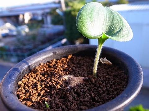 20120917_Eriospermum roseum_1