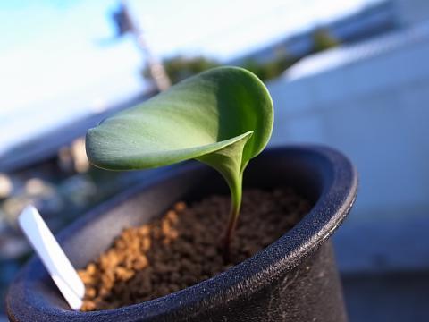 20120917_Eriospermum brevipes