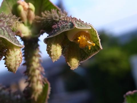 20120922_Monadenium echinulatum  Tanzania, Dodoma Prov._3