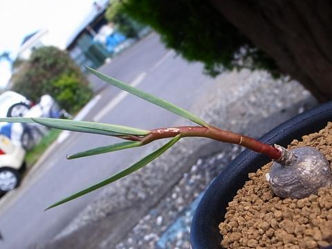 20120922_Monadenium sp.  Tanzania, Dodoma Prov.