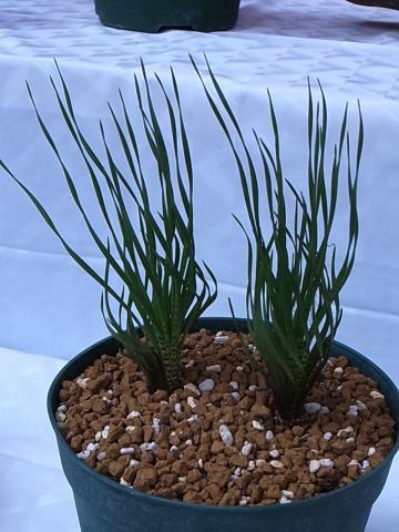 20121001Ledebouria leptphylla