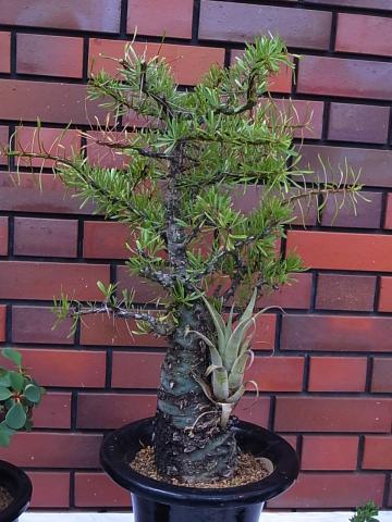 20121001Fouquieria purpusii