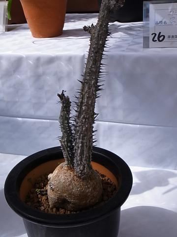 20121001Adenia aculeata