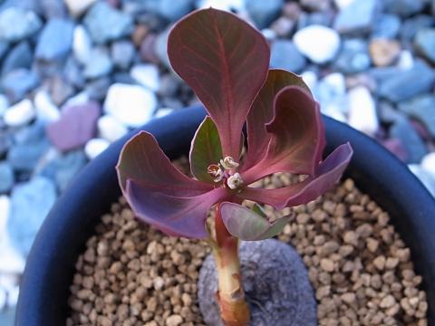 20121024_Monadenium globosum_2